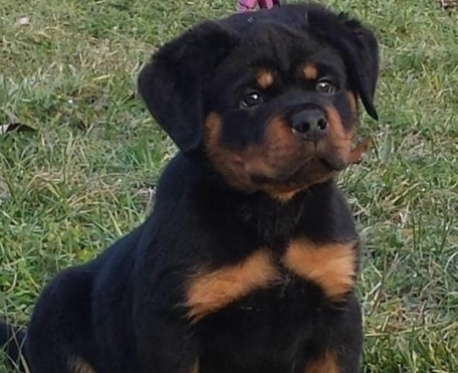http://www.ibiscoblu.it/wordpress/wp-content/uploads/2018/02/rottweiler-Ibisco-blu-1-e1524084299493-458x373.jpg