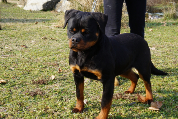http://www.ibiscoblu.it/wordpress/wp-content/uploads/2018/03/ROTWEILER-e1520969811494-600x400.jpg
