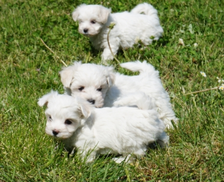 http://www.ibiscoblu.it/wordpress/wp-content/uploads/2018/04/Cuccioli-maltese-2-e1524084615935-458x373.jpg